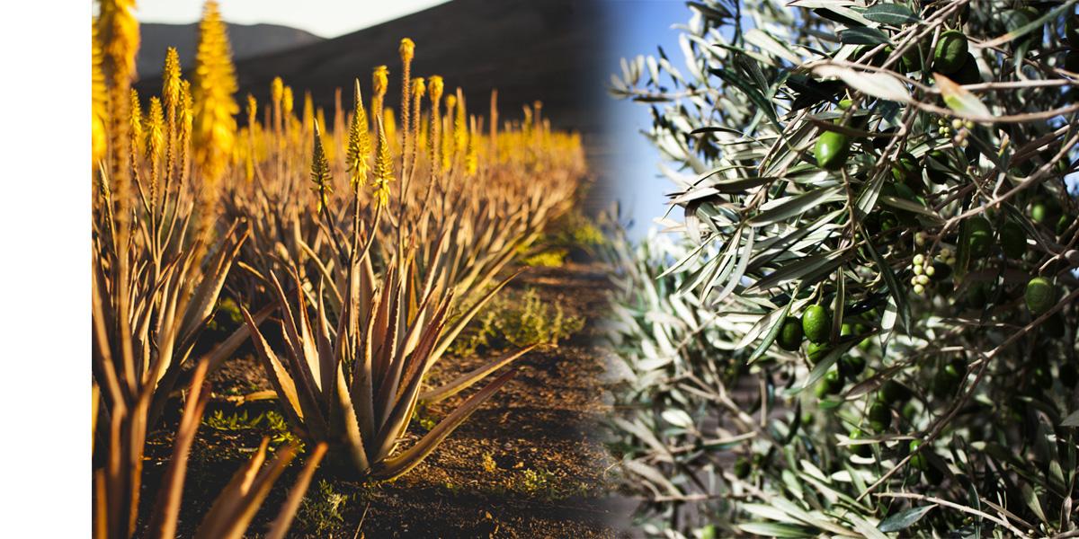 Aceite de oliva y aloe vera en cosmética natural: aplicaciones y beneficios