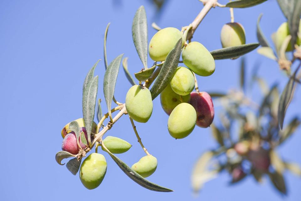 Aceite de oliva virgen extra ecológico: proceso de elaboración