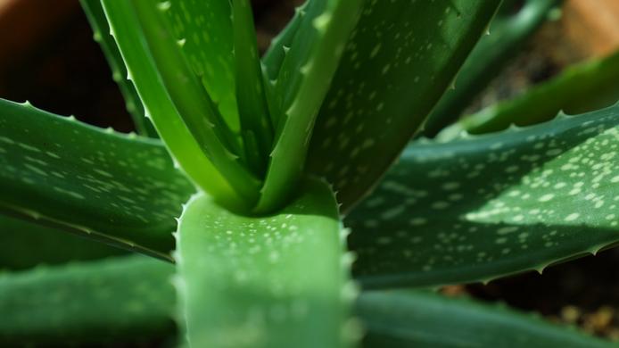 C mo cultivar aloe vera o s bila verdeaurora - Como cuidar la planta de aloe vera ...