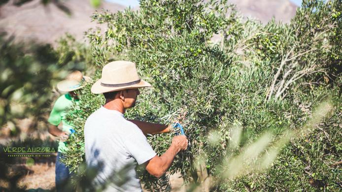 Diferencias entre aceite de oliva ecológico y convencional