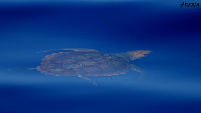 Sea turtles in Fuerteventura