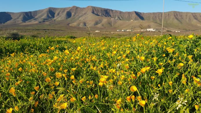Aprovecha el desierto florido de Fuerteventura