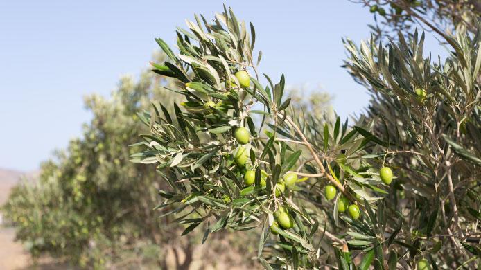 Hojas de olivo para una salud de hierro